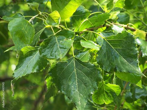 Fotografie, Obraz leaves of a poplar