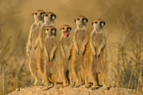Obraz na plátně suricate family