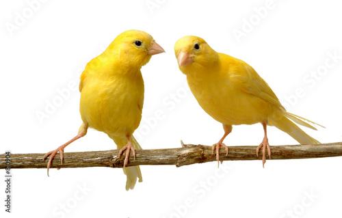 Fototapeta  canario escuchando a otro