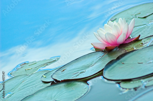 Garden Poster Lotus flower lily