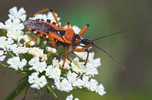 Close-up Of Orange Assassin Bug On White Flower