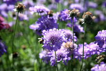 Field Of Blue Pincushion Flowers
