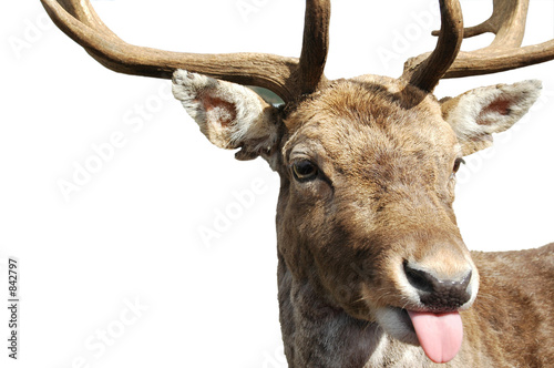 Photo rude deer
