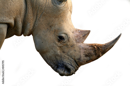 Fotografia, Obraz  isolated rhinoceros head