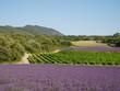canvas print picture - champs de lavande et vignes