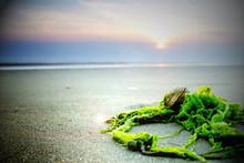 Muscheln Und Algen