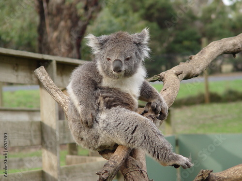 Garden Poster Koala chuffed koala
