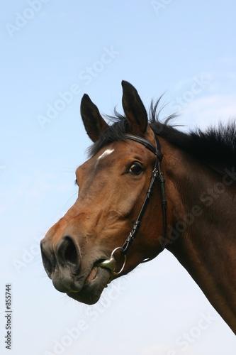Fotografiet neighing horse