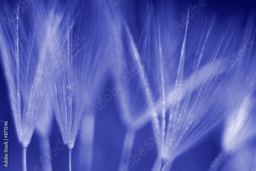 Canvas Prints Dandelions and water seed of dandelions parachutes