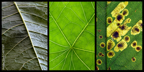 triptych of leafs Canvas Print