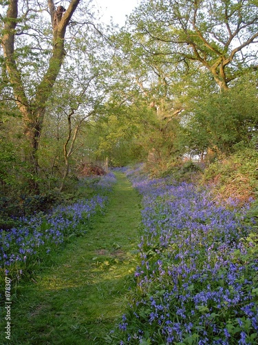 Foto auf Gartenposter Wald bluebells in woodland