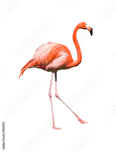 Fotobehang Flamingo red caribbean flamingo dancing isolated