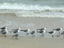 Marching Seagulls