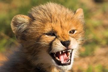 Fototapeta na wymiar angry cub