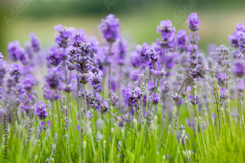 Foto op Canvas Lavendel lavender background
