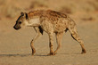 canvas print picture - spotted hyena