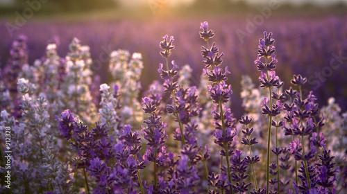 Photo  lavender at sunset