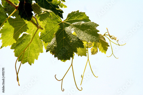 Fotografía hojas de vid