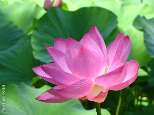 Foto op Canvas Lotusbloem lotus