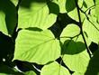 canvas print picture - lindengrün