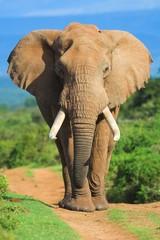Fototapeta elephant portrait