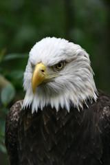 eagle,bald eagle,beak,natural,attitude,tampa,flori