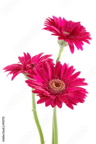 Foto-Schiebegardine ohne Schienensystem - pink gerber daisies