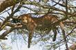 canvas print picture leopard sucht entspannung auf baum