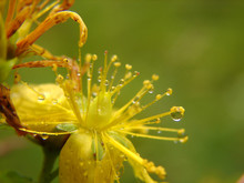 Wet Yellow Flower