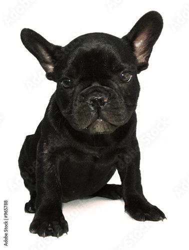 Photo sur Toile Bouledogue français chien bouledogue
