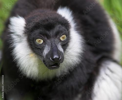 Aluminium Prints Camel black and white ruffed lemur