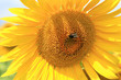 canvas print picture fleurs de tournesol