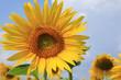 Leinwandbild Motiv fleurs de tournesol