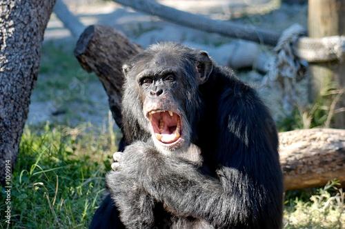 Fototapeta angry chimp