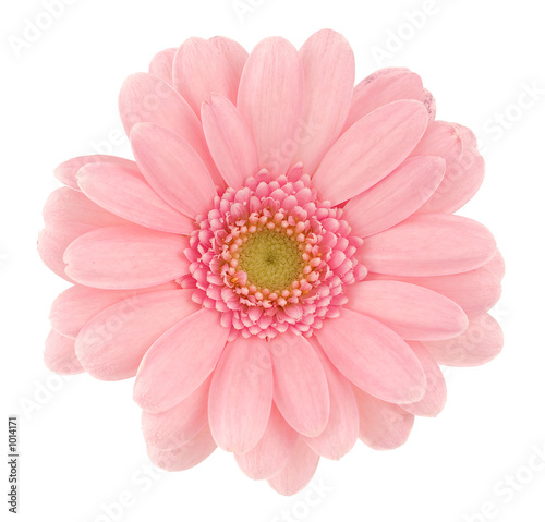 Recess Fitting Gerbera pink gerbera