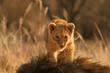 canvas print picture lion cub