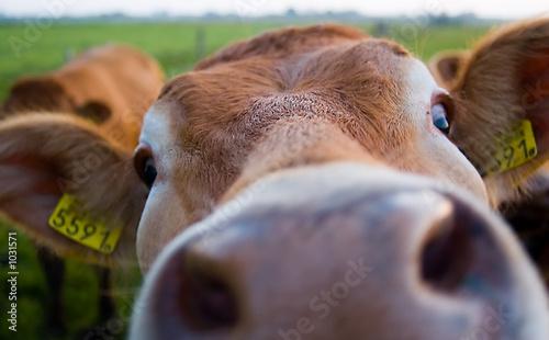 Obraz na plátně funny cow