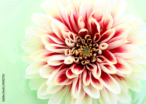 Foto op Plexiglas Dahlia dahlia