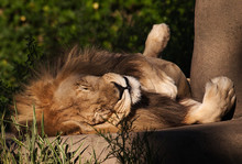 Lazy Lion At Zoo