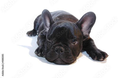 Deurstickers Franse bulldog chiot bouledogue français