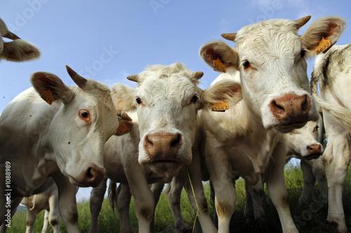 Poster de jardin Vache vaches