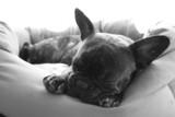 Fototapeta Dogs - un gros dodo