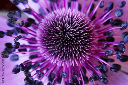 kwiat anamonu