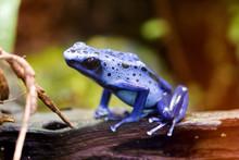 Blue Poison Arrow Frog - Blue ...
