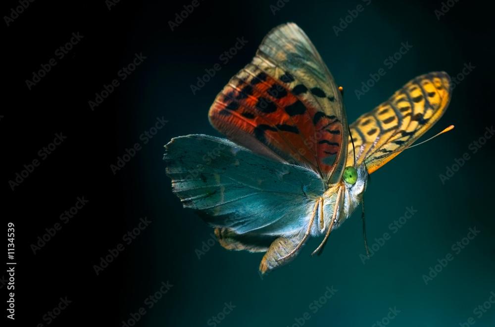 Fototapeta butterfly flying
