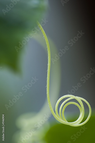 Fototapety, obrazy: cucumber tendril