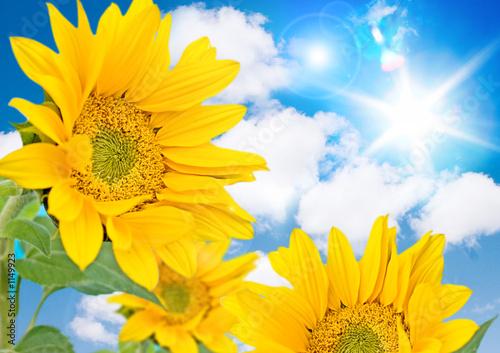 Fotorollo basic - sonnenblumen