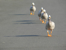 Marching Bar-headed Geese