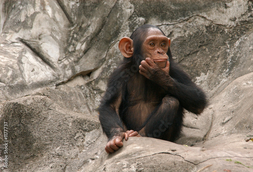 Deurstickers Aap little chimpanzee