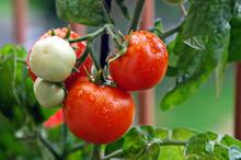 Pieds De Tomates Sur Un Balcon